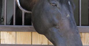 Les AQPS, du cheval de guerre aux courses d'obstacles